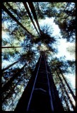 Tree Climbing Shasta-Trintiy, ladders to the moon!