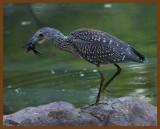 black-crowned night heron-8-27-11-503b.JPG