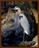 great blue heron 2-1-09-4d436b.jpg
