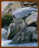 great blue heron 2-2-09-4d951b.jpg