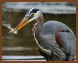 great blue heron 3-27-11-569b.jpg