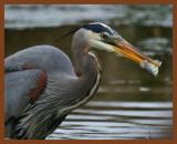 great blue heron 3-27-11-572b.jpg