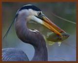 great blue heron 3-31-11-921b.jpg