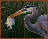 great blue heron 3-31-11-962b.jpg