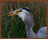 great blue heron 3-31-11-979b.jpg