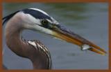 great blue heron 4-8-11-451c2b.jpg