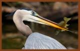 great blue heron 4-8-11-460c2b.jpg