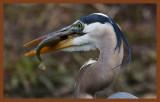 great blue heron 4-8-11-464c2b.jpg