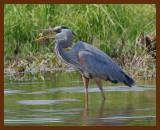 great blue heron 4-22-07-cl7b.jpg