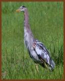great blue heron 5-5-11-743c1b.jpg