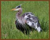 great blue heron 5-5-11-754b.jpg