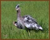 great blue heron 5-5-11-756b.jpg