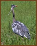 great blue heron 5-5-11-759c1b.jpg