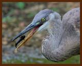great blue heron 9-3-07-4c1b.jpg