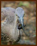 great blue heron 9-3-07-4c2b.jpg