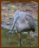 great blue heron 9-3-07-4c10b.jpg