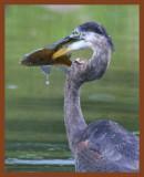 great blue heron 9-9-10-121c1b.jpg