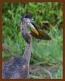 great blue heron 9-9-10-137c1b.jpg