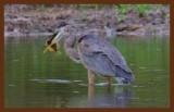 great blue heron 9-9-10-159c2b.jpg