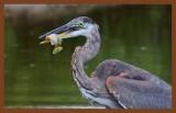 great blue heron 9-9-10-172c2b.jpg