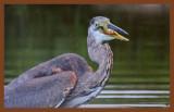 great blue heron 9-9-10-177c2b.jpg