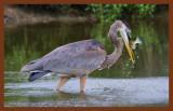 great blue heron 9-9-10-180c2b.jpg
