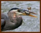 great blue heron 10-16-08-4d914b.jpg