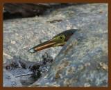 green heron 7-26-08-4d589b.jpg