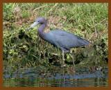 little blue heron 4-14-08-4c749b.jpg