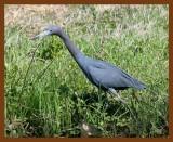 little blue heron 4 14-08-4c748b.jpg