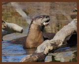 river_otters_2