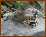 little_raccoons_2