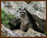raccoon 5-27-07-4c2b.jpg