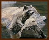 raccoon 6-8-09-4d097b.jpg