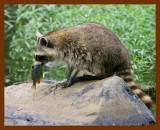 raccoon 6-9-08-4d610b.jpg