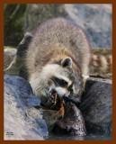 raccoon 6-12-08-4d632b.jpg