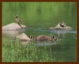 coon-wood ducks 5-24-07-4c3b.jpg