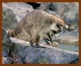 raccoon 6-12-08-4d649b.jpg