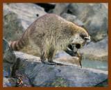 raccoon 6-12-08-4d652b.jpg
