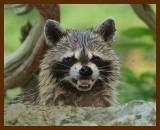 raccoon 6-19-07-4c6b.jpg