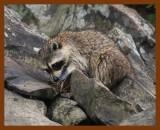 raccoon 6-19-08-4d671b.jpg