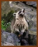 raccoon 6-20-08-4d055b.jpg