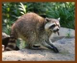raccoon 6-22-08-4d798b.jpg