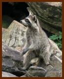 raccoon 6-23-07-4c3b.jpg