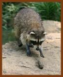 raccoon 6-24-08-4d125b.jpg