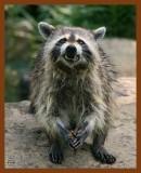 raccoon 6-24-08-4d148b.jpg