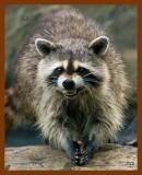 raccoon 6-25-08-4d210b.jpg