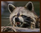 raccoon 6-26-09-4d416b.jpg