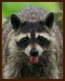 raccoon 7-5-07-4c1b.jpg
