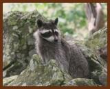raccoon 7-5-07-4c6b.jpg